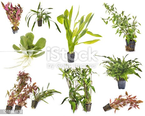 istock aquarium plants 1015864870