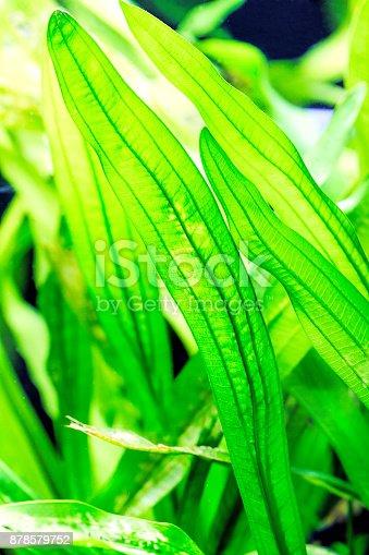 istock Aquarium plants - Vallisneria gigantea and Vallisneria spiralis 878579752