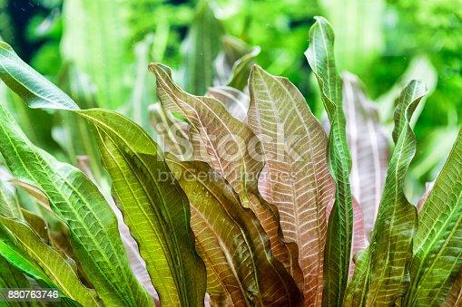 istock Aquarium plants - Vallisneria gigantea and Vallisneria spiralis 880763746