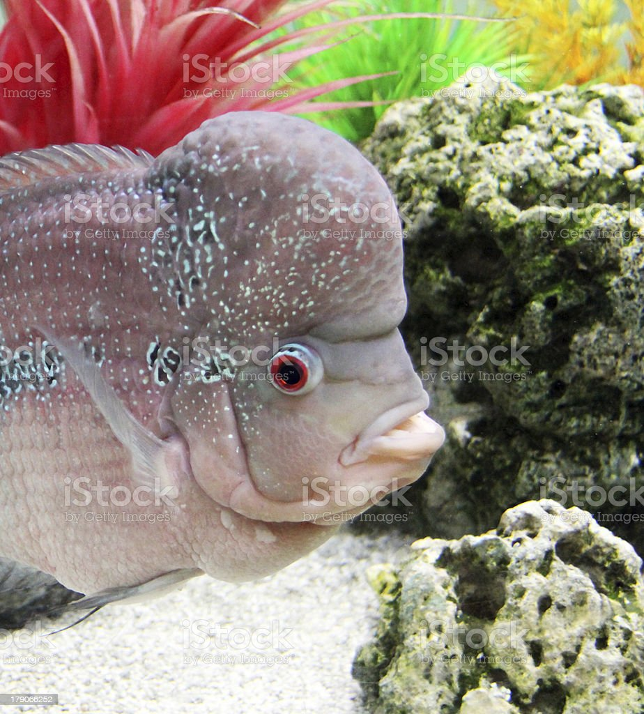 Aquarium Redhead cichlid royalty-free stock photo