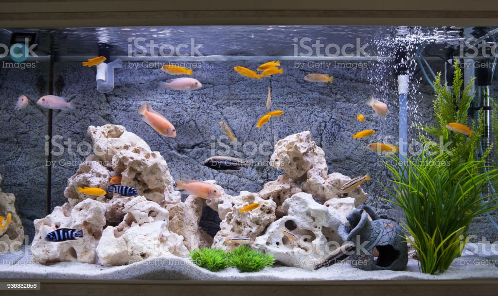 Aquarium with cichlids fish from lake malawi – zdjęcie