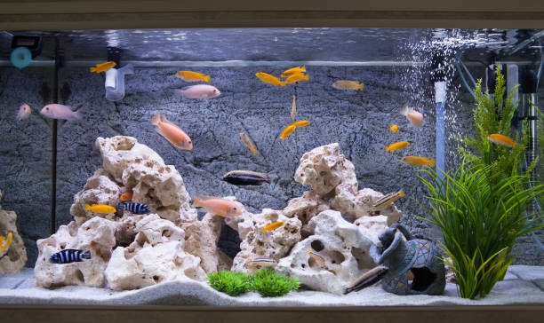 Aquarium with cichlids fish from lake malawi Aquarium with cichlids fish from lake malawi animal captivity building stock pictures, royalty-free photos & images