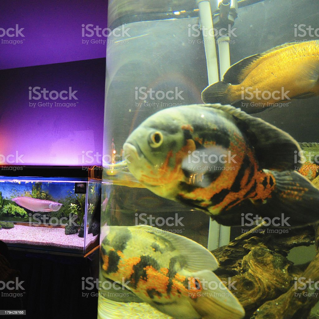 Aquarium with colourful fish , royalty-free stock photo