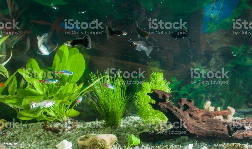 aquarium avec beaucoup de poissons et de plantes naturelles. Fishes.aquarium tropicale avec des plantes vertes photo libre de droits