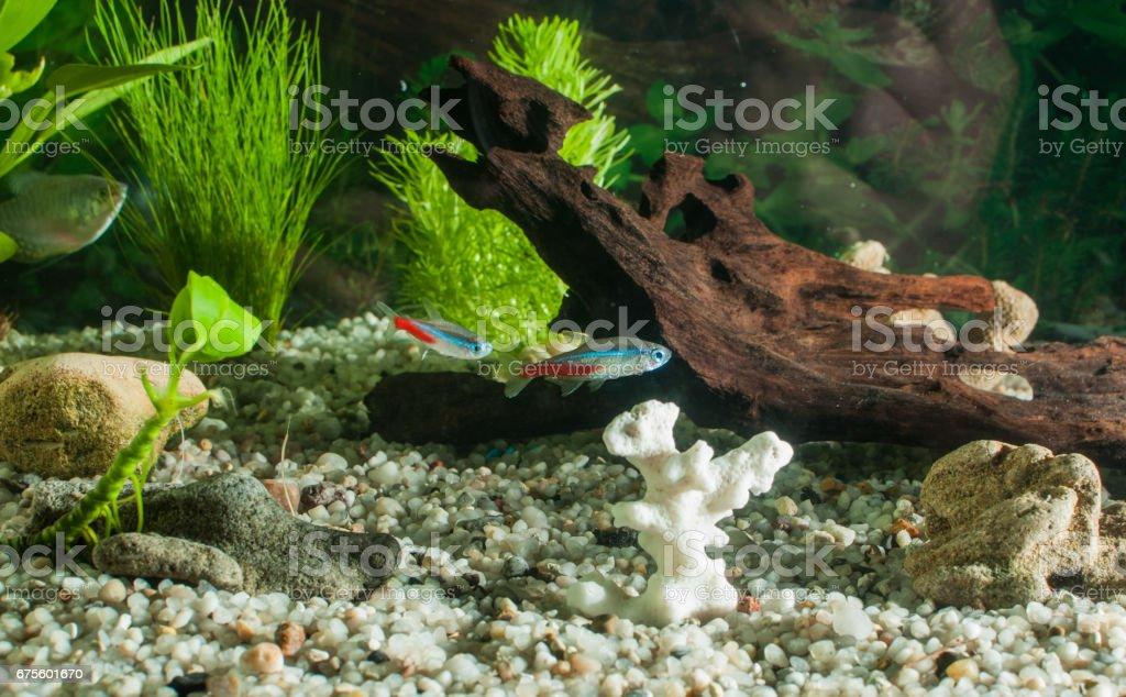 aquarium with many fish and natural plants.Tropical fishes.aquarium with green plants photo libre de droits
