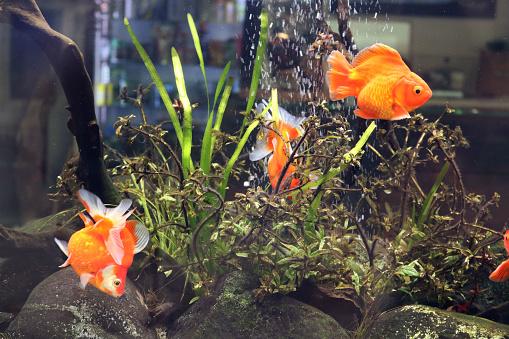 Aquarium with orange fish swimming underwater, seaweed and rocks - showcase of marine animals shop