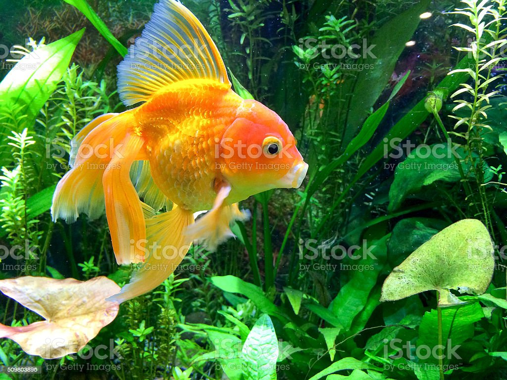 Aquarium Yawning Gold Fish stock photo