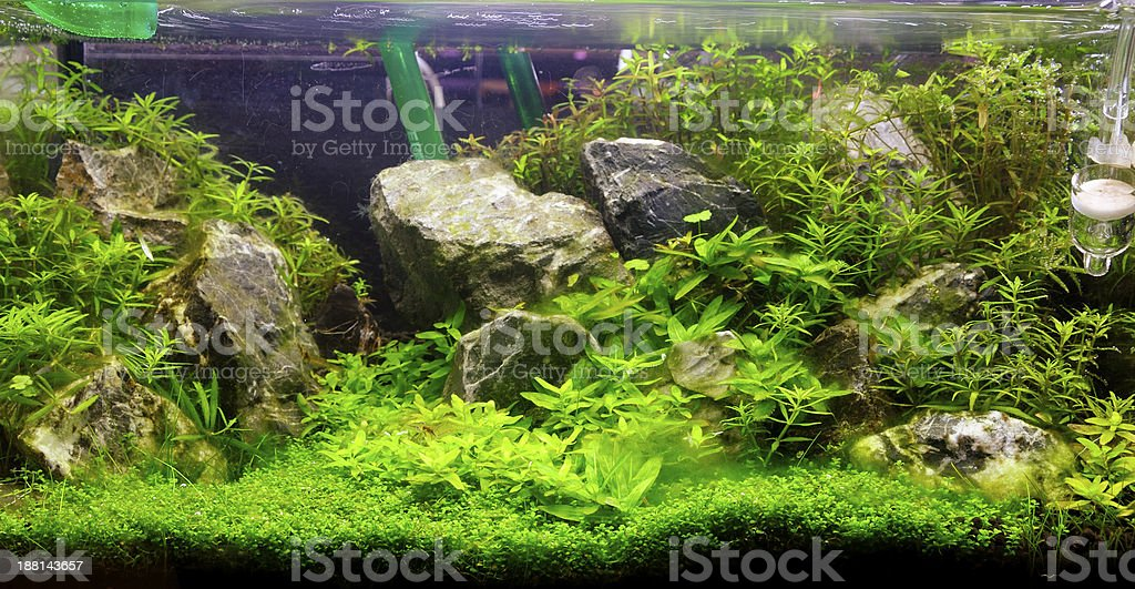 Aquascaping Of The Planted Freshwater Aquarium Stock Photo Download Image Now Istock