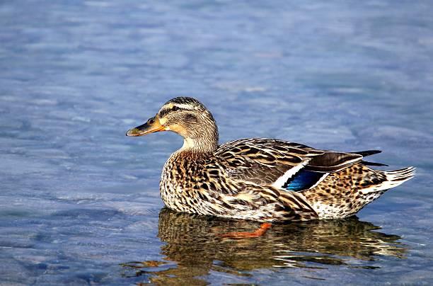 Aquatic bird female stock photo