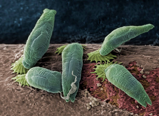 Aquatic parasites, SEM The aquatic parasite Gyrodactylus salaris lives on the skin and fins of freshwater fish. The parasites feed on mucus and surface cells. SEM, coloured, x220 at 10cm wide. atlantic salmon stock pictures, royalty-free photos & images