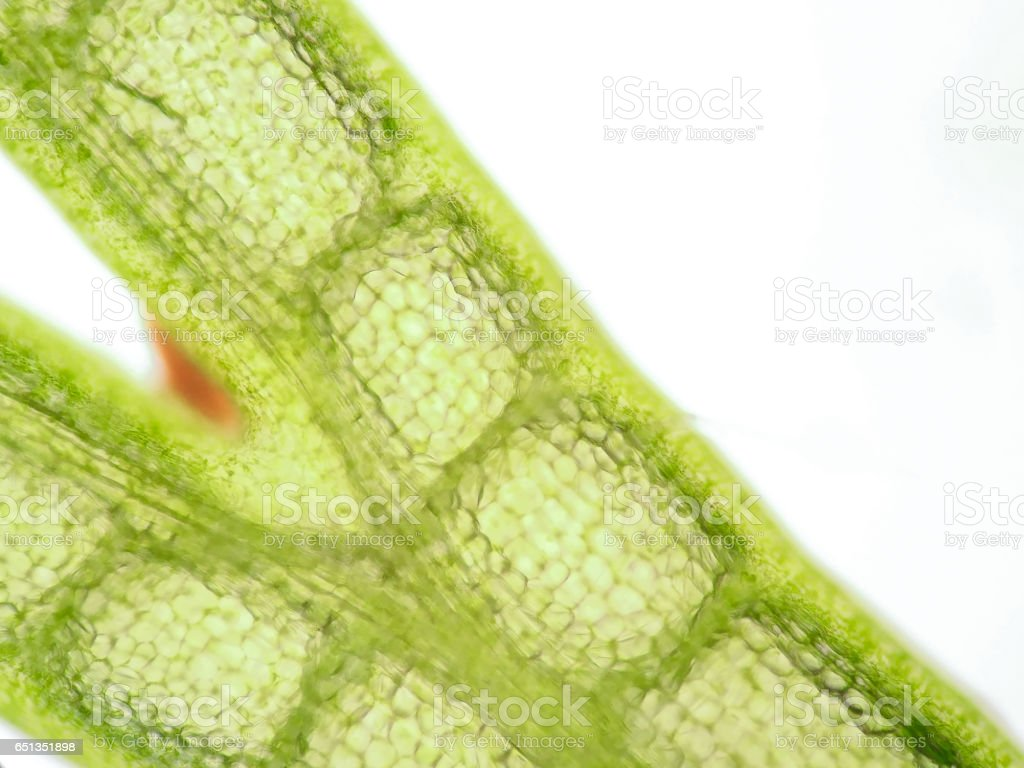 Aquatic Plant Cell Under Microscope View Stock Photo & More Pictures ...