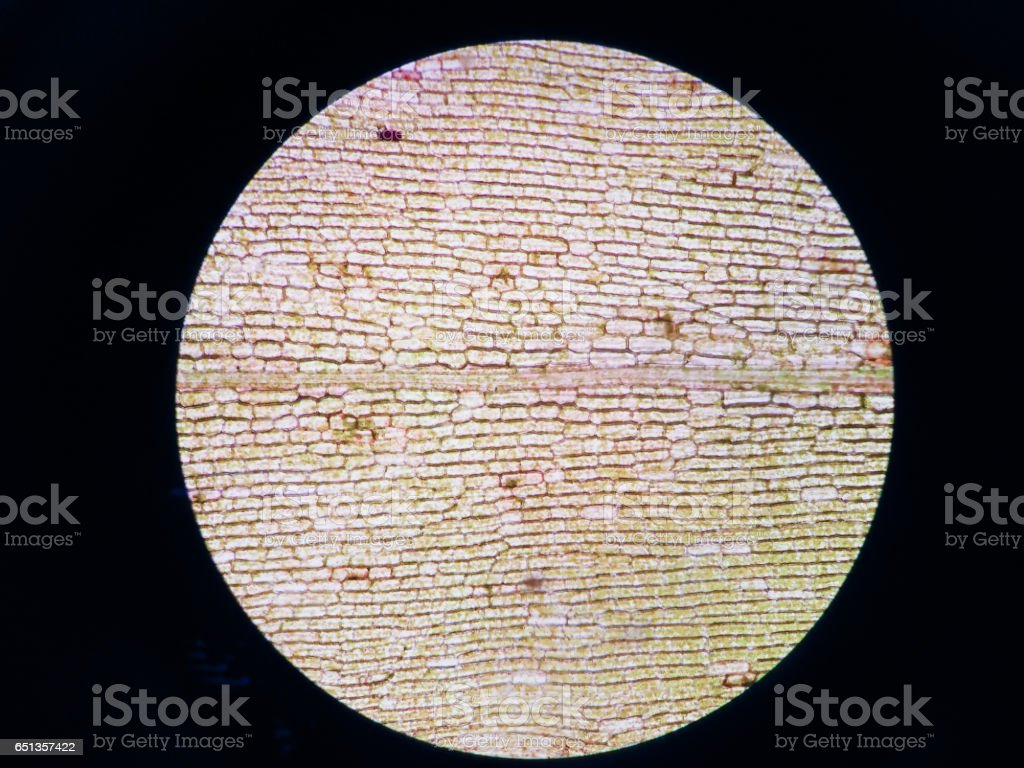 Aquatic plant cell under microscope view stock photo