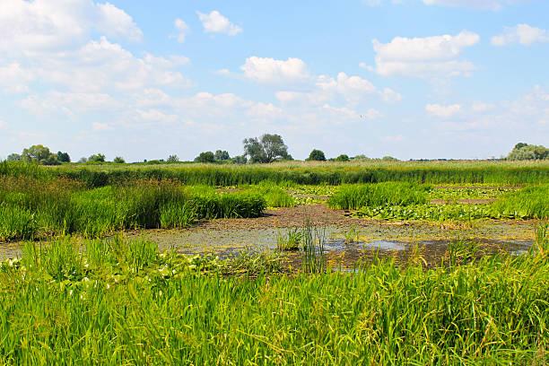 Aquatic plants in a swamp stock photo
