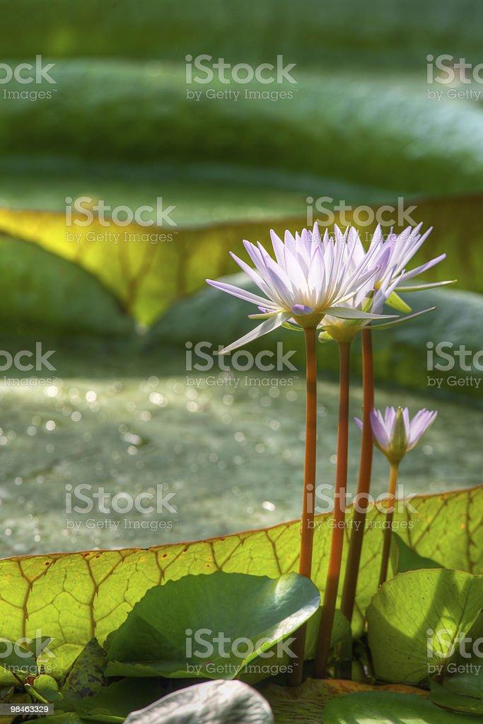 Aquatic plants royalty-free stock photo