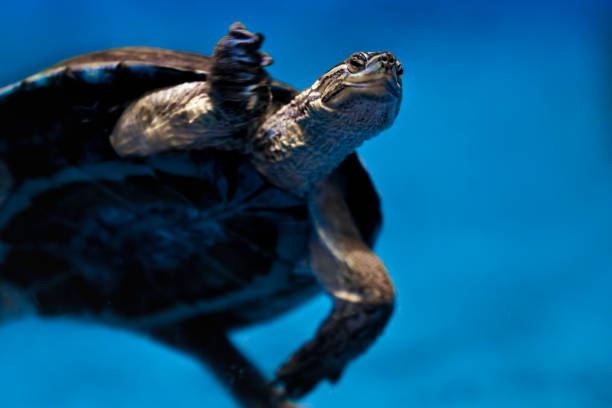 aquatic turtle stock photo