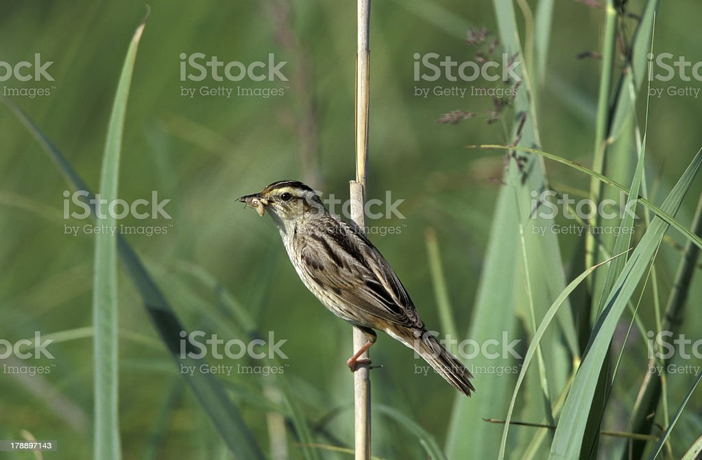 Aquatic warbler, Acrocephalus paludicola royalty-free stock photo
