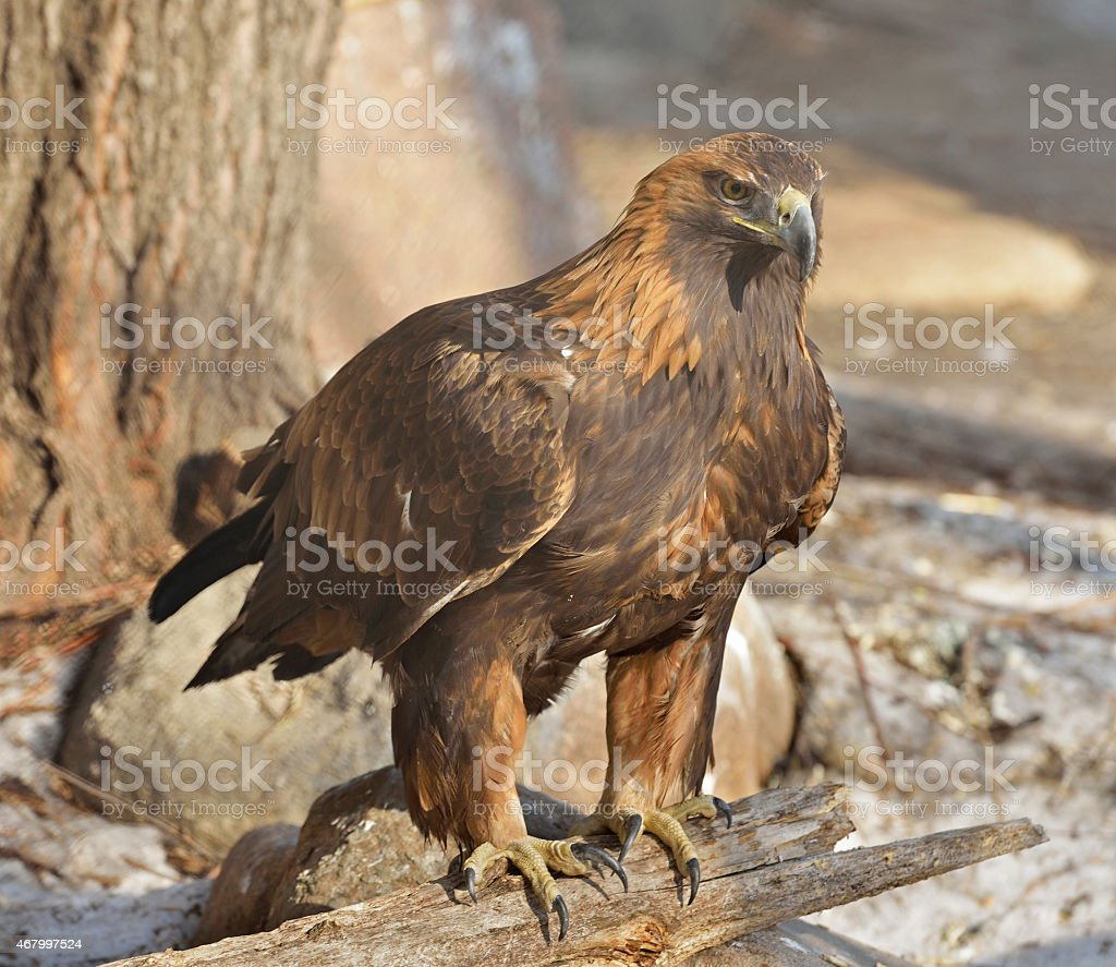 Aquila chrysaetos stock photo