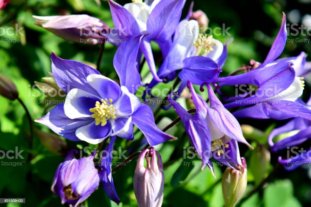 Aquilegia Columbine Flower Stock Photo Download Image Now Istock