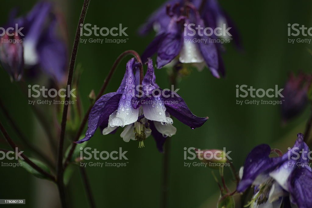 Aquilegia, Columbine with Waterdrops  in the Rain stock photo