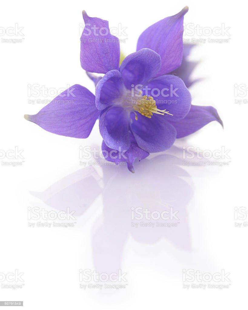 Aquilegia  flower isolated on white backround royalty-free stock photo
