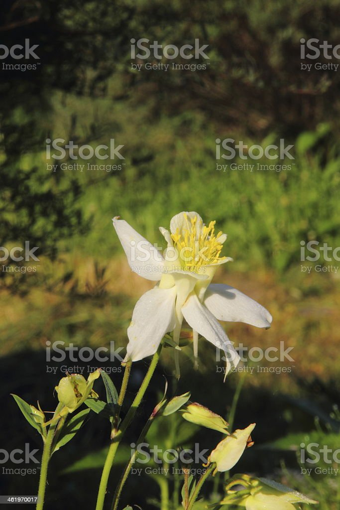 Aquilegia. Flower. stock photo