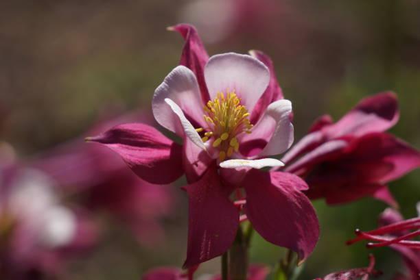 Aquilegia /granny's bonnet/columbine_red and pink stock photo
