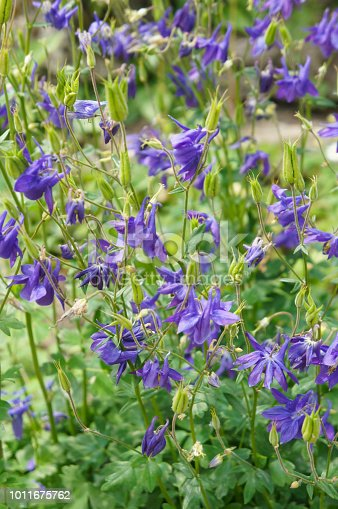 Aquilegia green plant with blue flowers vertical
