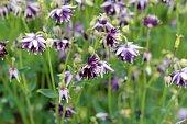 Aquilegia vulgaris blossoms