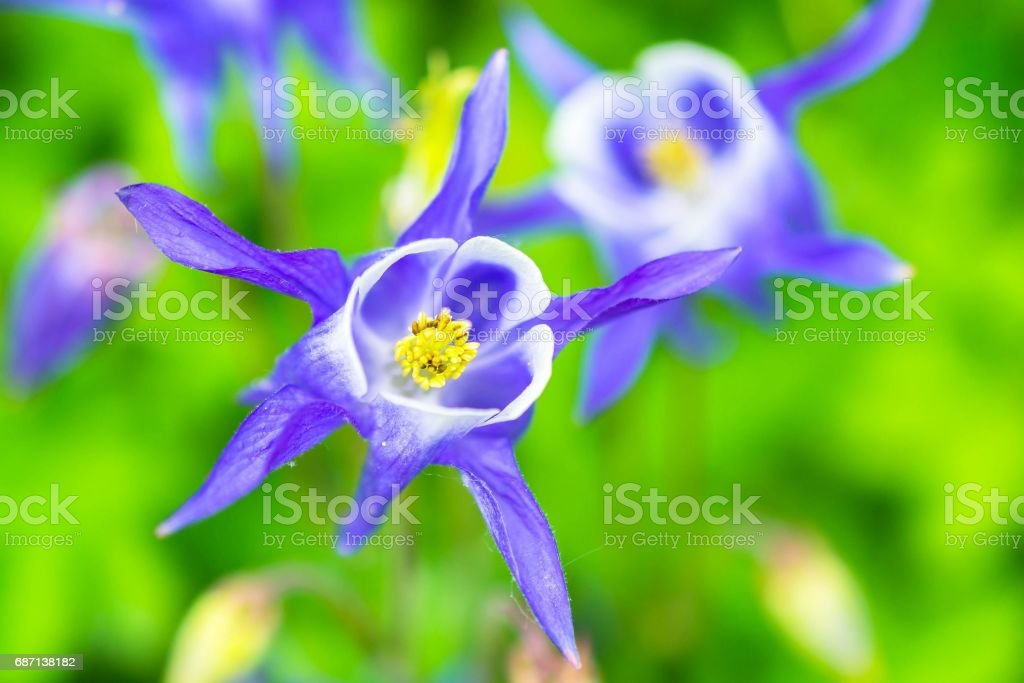 Aquilegia vulgaris blue flower close up stock photo