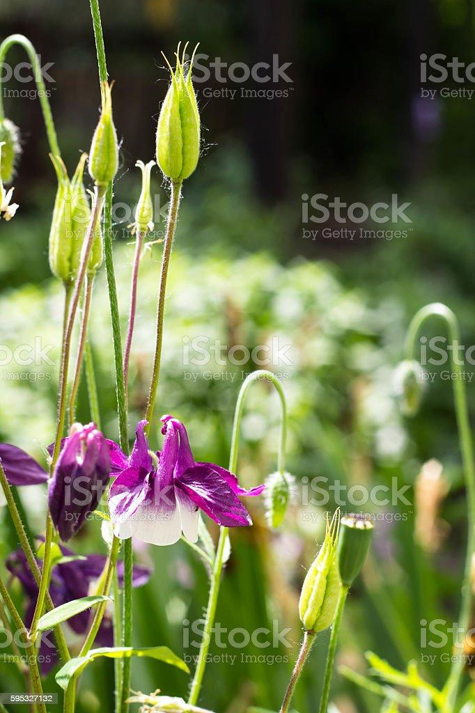 Aquilegia vulgaris - Common columbine stock photo
