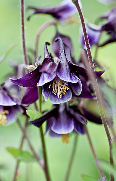 Aquilegia vulgaris 'Elegance' stock photo