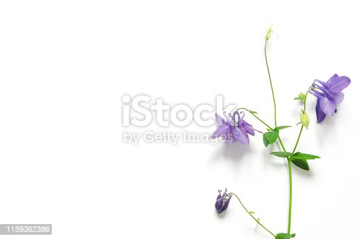 Aquilegia vulgaris flower isolated on white background. Mockup. View from above. - Image