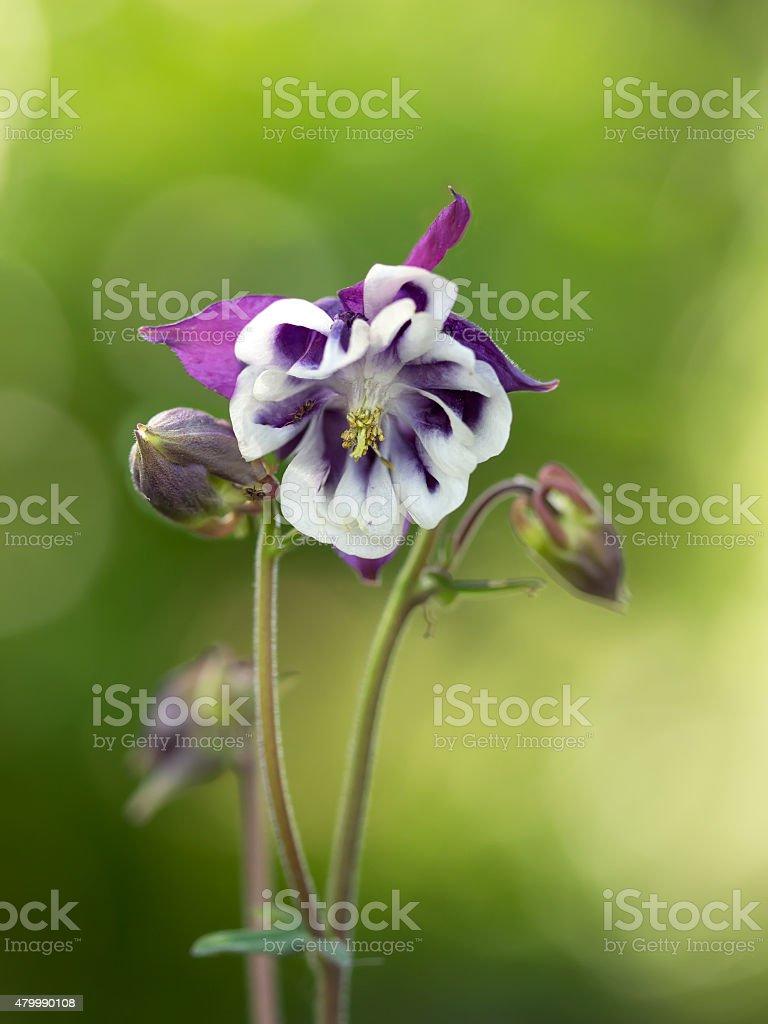 Aquilegia vulgaris (Common columbine) on green background stock photo
