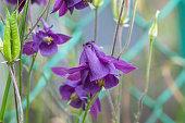 Aquilegia vulgaris purple flowers growing in summer garden. European columbine violet perennial bell flower near fence