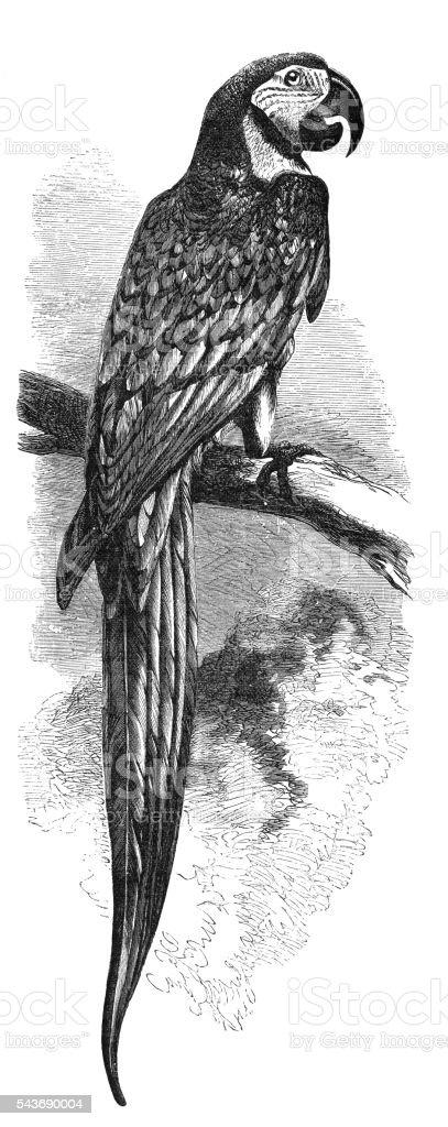 Ara ararauna parrot engraving 1880 - foto de stock