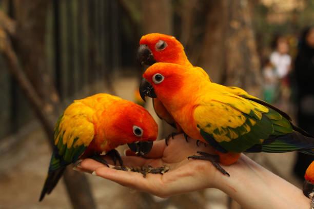 ara-papageien, die paar menschlichen hand sitzen nahaufnahme foto - urbanara stock-fotos und bilder