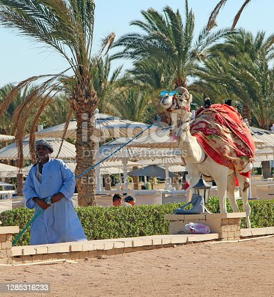 Hurghada / Egypt. 29 July 2018:Arab leading camel on leash over territory of hotel among vacationers. Egyptian promenade camel. Animal for excursion. Ruminant animal
