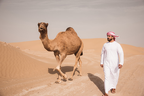 Camels in Al Bidayer Desert dunes, Dubai, United Arab Emirates