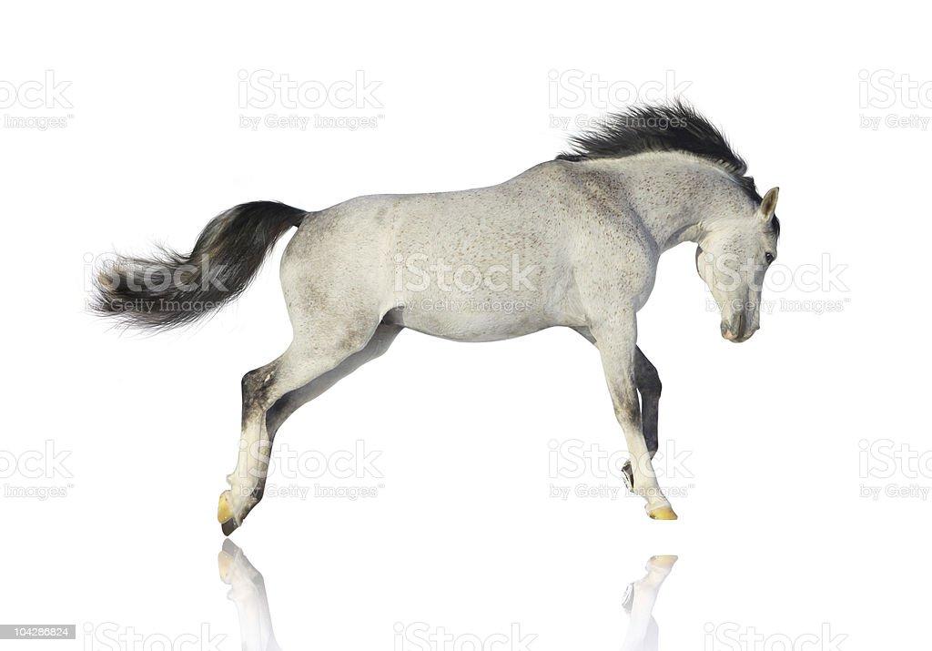 arab stallion isolated royalty-free stock photo