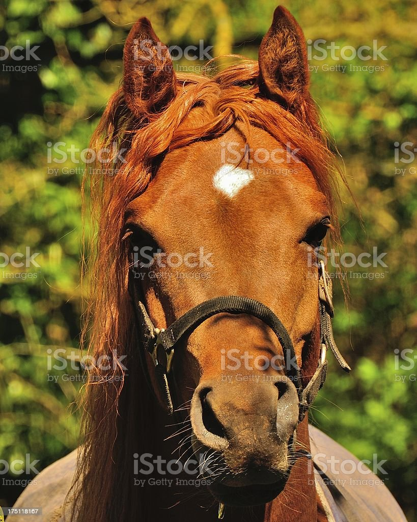 Arab stallion royalty-free stock photo