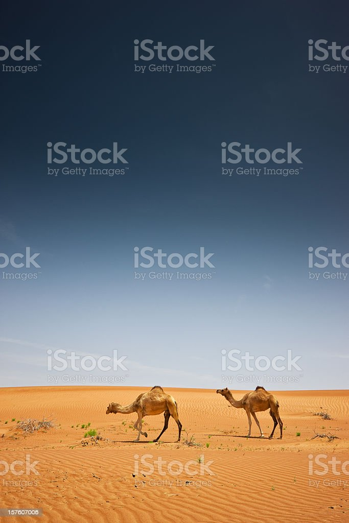 Arabia Oman Camels in Wahiba Sands Desert stock photo