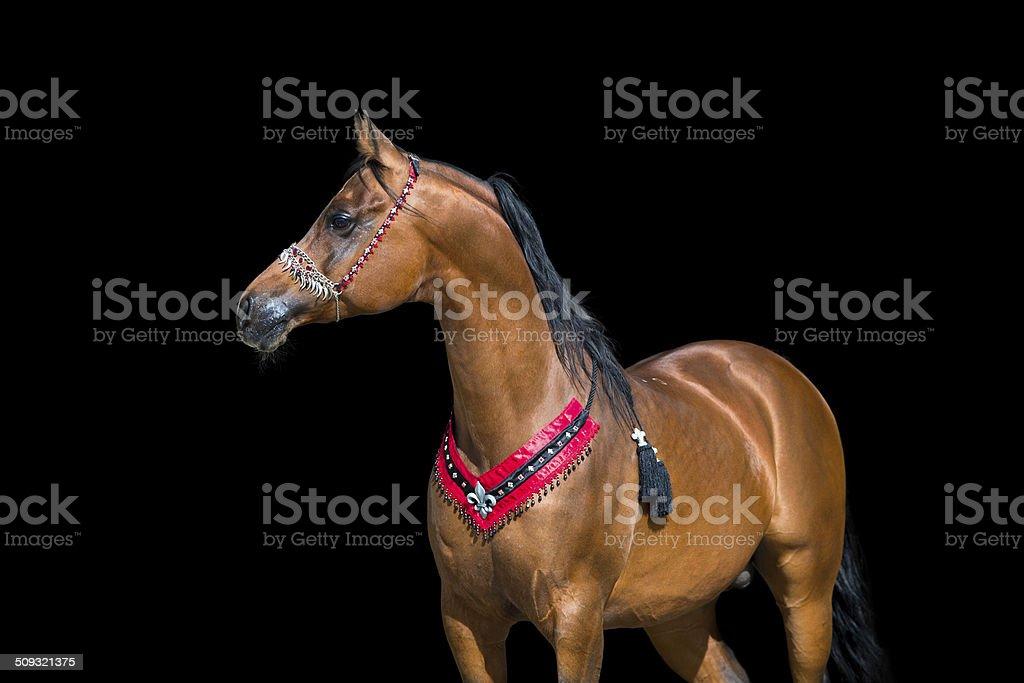 Arabian bay horse portrait on black background stock photo