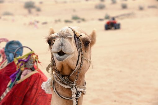 Head shot of an arabian camel in the desert near Dubai with a quad in the background.