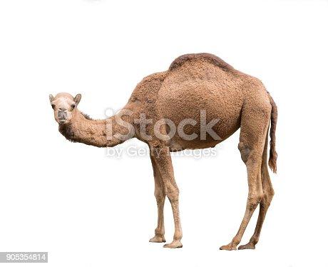 istock Arabian camel isolated on white background 905354814
