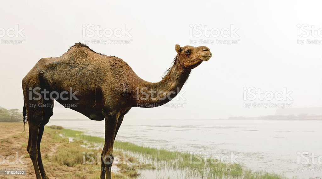 Arabian Camel royalty-free stock photo