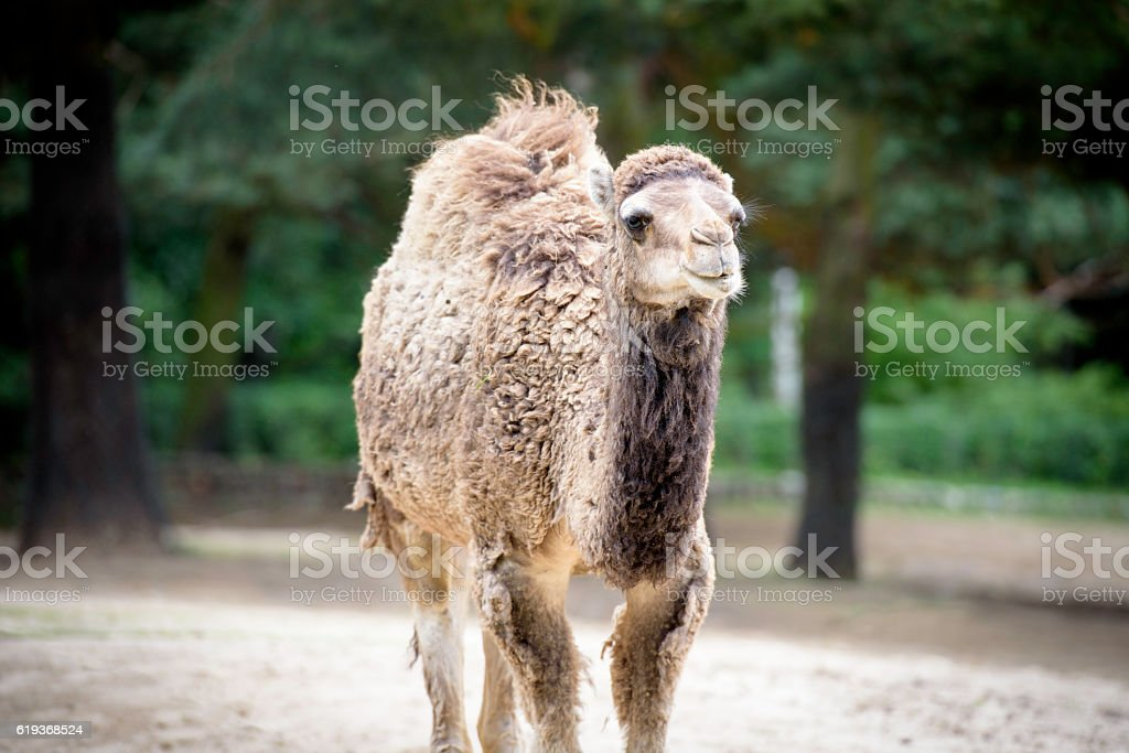 Arabian camel with the rest of winter fur stock photo
