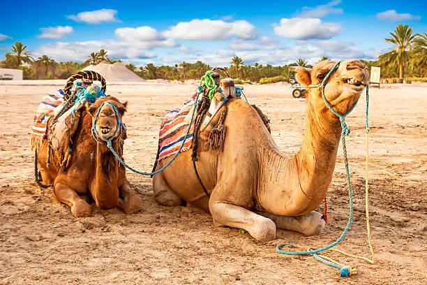 Arabian camellos en Túnez. - foto de stock