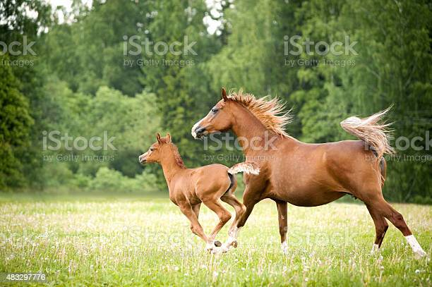 Arabian foal with mare picture id483297776?b=1&k=6&m=483297776&s=612x612&h=eadr0wesxn0l7vdjw5mepj iaz2czqngvqdotjhhdjm=