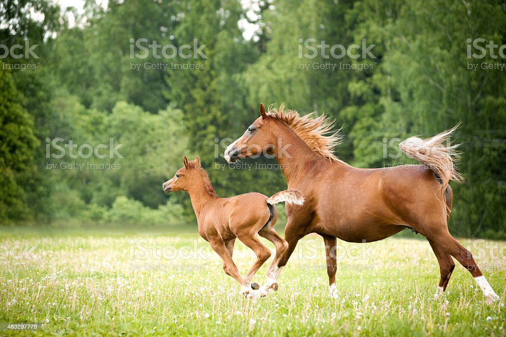 arabian foal with mare stock photo