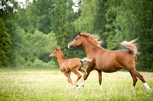 arabian foal with mare arabian foal with mare runs free in the field foal young animal stock pictures, royalty-free photos & images